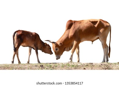 brown Cow father  and calf two isolated on white background with clipping paths.