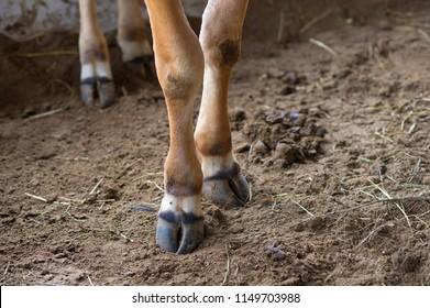 Brown Cow Feet