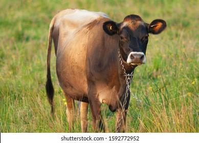 brown cow in field agriculture livestock bovine farm
