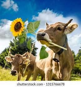 Braune Kuh mit Blume im Maulkorb. Schöne Blumenwiesen der Zentralschweiz und blauer Himmel im Hintergrund. Grußkarte für den Valentinstag, den Frauentag, den Muttertag oder andere Glückwünsche.