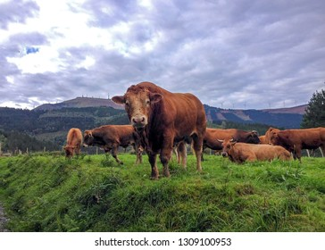 Brown cow in front its group in a field with a beautiful view over the mountains in Basque Country, Camino del Norte or the Coastal Saint James Way, pilgrimage route along the Northern coast of Spain