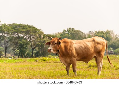 brown cow with grassand sky in the forest