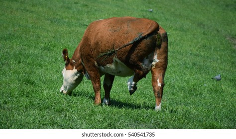Brown cow is grassing on a green big field on the Isle of Wight