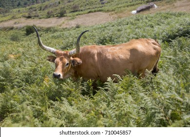Brown cow grazing in the mountains. Mountains north of Portugal. Val de Poldros, Monção.