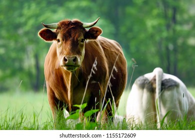Brown cow is grazing on the meadow and looking straight into the eyes