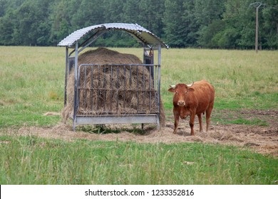Brown cow with hay