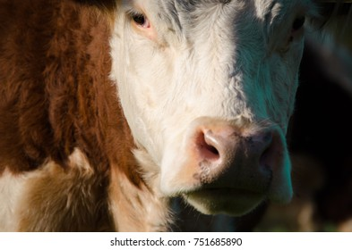 Brown cow head close up