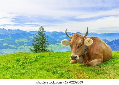 Brown cow with horns in alpine meadow along Rigi-Scheidegg railway trail looking at Swiss Alps, Schwyz basin, Lake Lucerne. Unterstetten village in Canton of Lucerne, Central Switzerland.