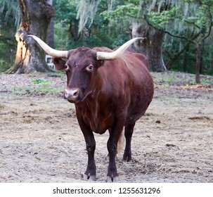 Brown Cow with Horns in field with trees with Spanish moss.