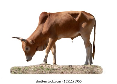 brown cow isolated on white background with clipping paths.