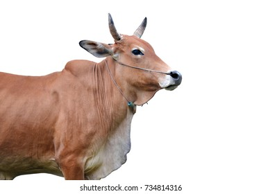 brown cow isolated on white background