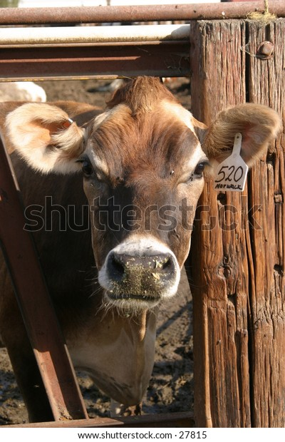 a brown cow looks at me as I take its photograph wondering what im doing