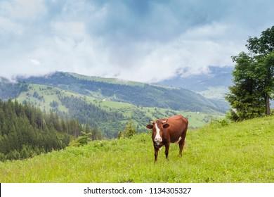 brown cow on a carpathians mountain pasture. Ukraine.