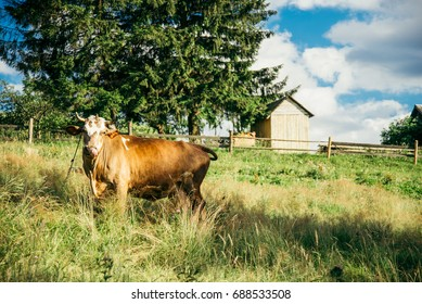 Brown cow on the field with house on background in sunny summer day