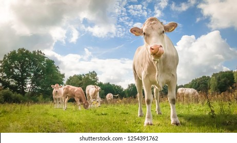 Brown cow on green grass looking into the camera under a blue sky with white clouds and with some cows grazing in the background