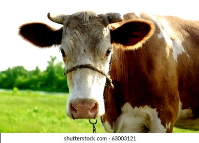 brown cow on the pasture