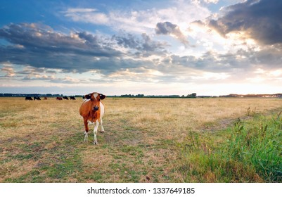 brown cow on pasture in summer before sunset