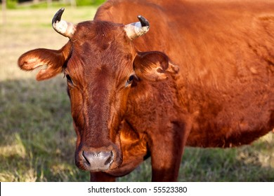 Brown cow on pasture on a sunny day