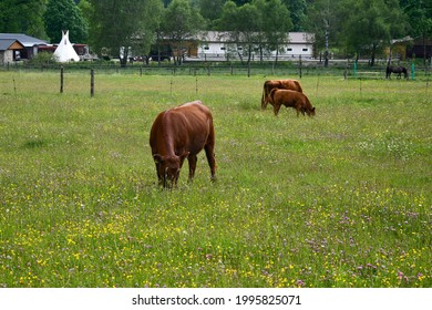 Brown cow in the pasture, South Bohemia, Czech Republic
