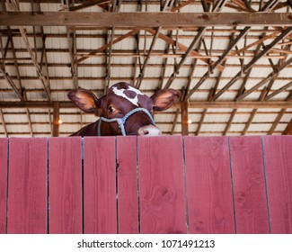 A brown cow peeks over a red painted fence.
