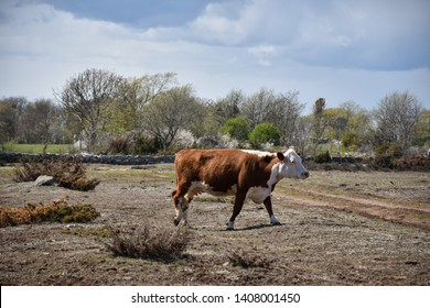 Brown cow in a plain and dry grassland Stora Alvaret on the swedish island Oland