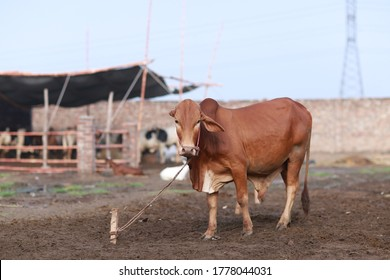 Brown Cow is standing in the animal market for the sacrifice feast.