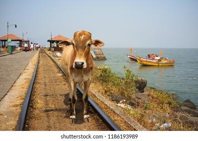 Brown cow standing on railway tracks in Elephanta island near Mumbai, India