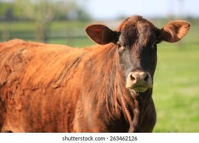 Brown cow staring (horizontal)