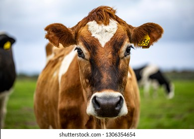 Brown cow staring at me