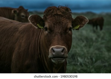 brown cow starring (close up) - Shutterstock ID 1980530198