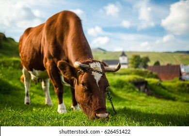 Brown cow at summer green field