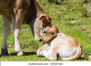 Brown cow through the Catalan Pyrenees, Spain