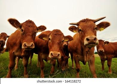 Brown cows, bulls