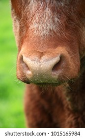 Brown cows face