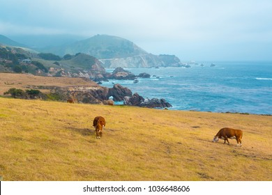 Brown cows feeding on a pasture in Big Sur, California