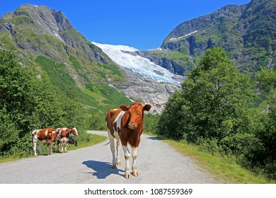 Brown cows in front of Boyabreen glacier, a beautiful arm of the large Jostedalsbreen glacier, Norway, Europe