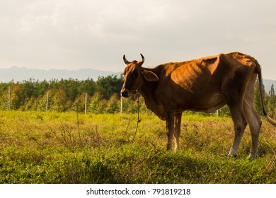 Brown cows in a grassy field on a bright and sunny day