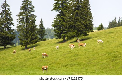 brown cows grazing ,mountain ,view , animals ,grass ,fence ,green ,domestic ,white ,farm ,country side ,milk ,many ,together ,trees ,pins ,nature