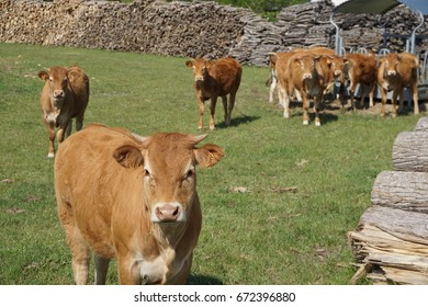 Brown cows lined up for food in the field with wood piles in the countryside