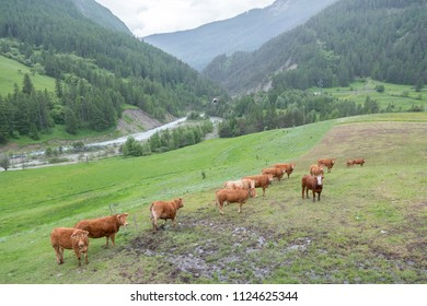 brown cows in mountain meadow near col de vars in french alps of haute provence