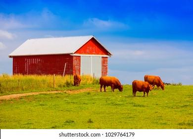 Brown Cows on American Farm