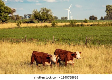 Brown Cows on American Farm
