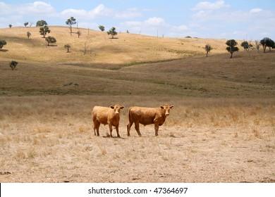 Brown cows on a dry farmland in Australia
