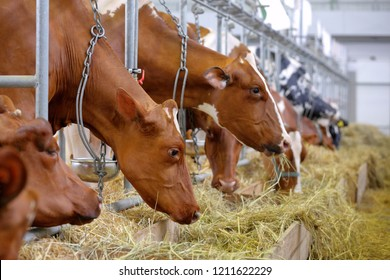 Brown cows in the stable on farm
