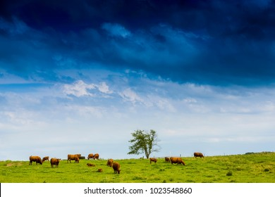 Brown Cows With Stormy Sky