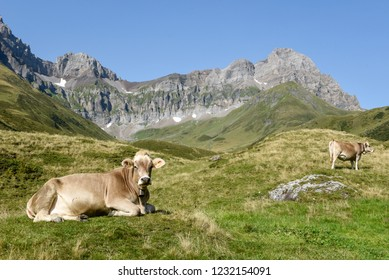 Brown cows that graze at Furenalp over Engelberg on the Swiss alps
