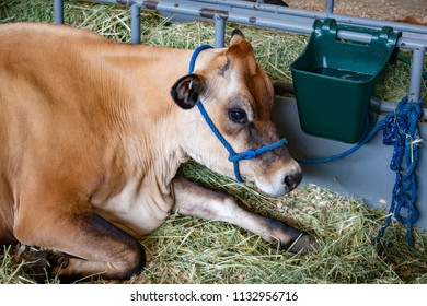 Brown and Cream Cow with a Blue Halter Sits by a Water Trough at the San Diego County Fair, California, USA