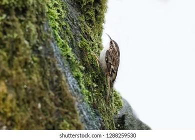Brown Creeper bird  in Vancouver BC Canada.