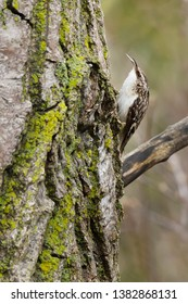 A Brown Creeper is perched to the mossy bark of a tree holding an insect larva in its beak. Also known as an American Treecreeper. Colonel Samuel Smith Park, Toronto, Ontario, Canada.