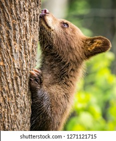 Brown cub tries to climb large tree.